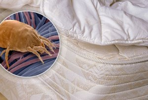 webmd_rm_photo_of_bed_bug_in_mattress